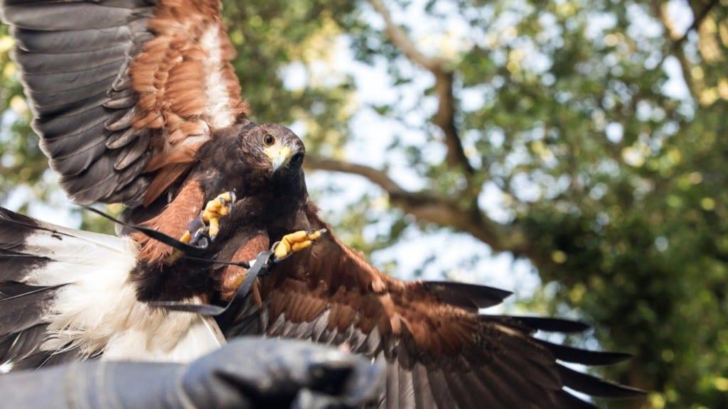 Hawk in Hand